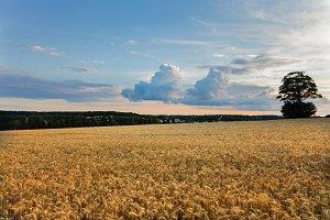 Golden wheat ears close up field in