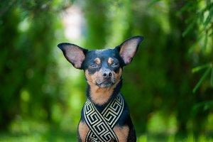 Dog pharaoh, Portrait of an elegant