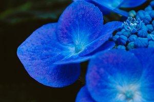 Hydrangea #3 - Blue Flowers