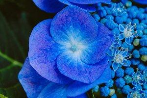 Hydrangea #5 - Blue Flowers