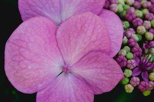Hydrangea #6 - Pink Flowers