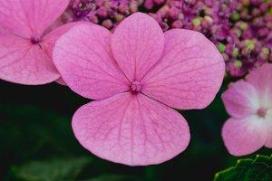 Hydrangea #7 - Pink Flowers