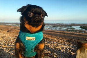 Brussels Griffon Dog on Beach