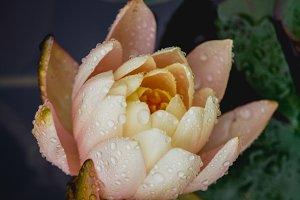 Lotus  #25 - Pink Flower
