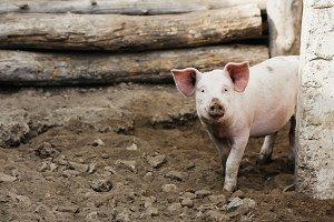 pink pig looks