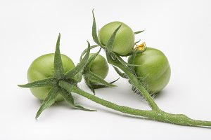 Green small tomatoes on branch.