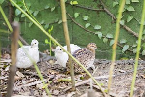 Chinese quail, chinensis excalfactor