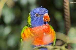 parrot rainbow, trichoglossus haemat