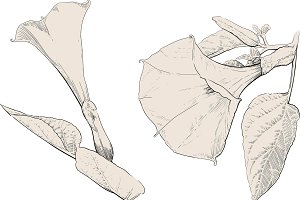 Datura stramonium flower