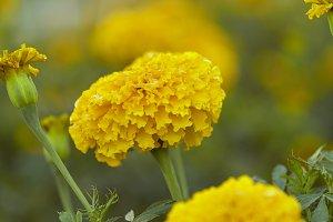 Yellow Marigold Flowers  In Field