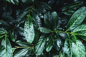 Dark green leaves foliage background