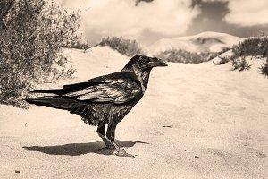 Black raven in the far west.