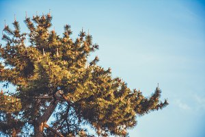 Retrofied Pine Tree