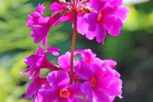 Purple Primula japonica
