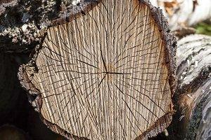 cracked birch