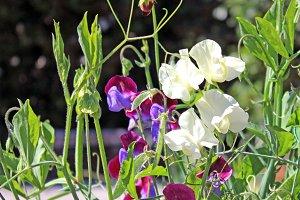Sweet Pea Purple and White