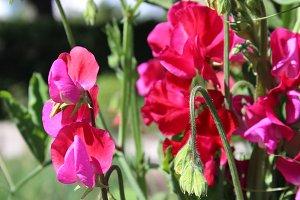 Red Sweet Pea Flowers