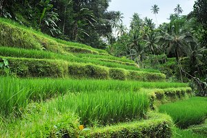 Green rice fields in tropical forest