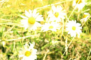 White Daisy Flowers Out Focus