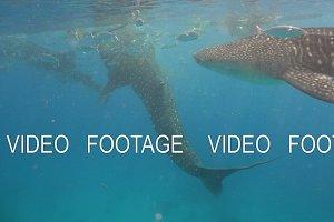 Whale Shark in ocean.