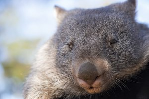 Wombat outside during the day.