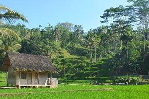 rice field in west java