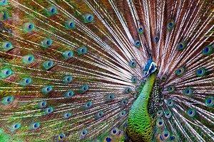 Green Asiatic peafowl
