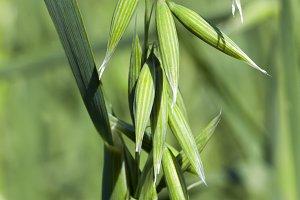 ear of oat