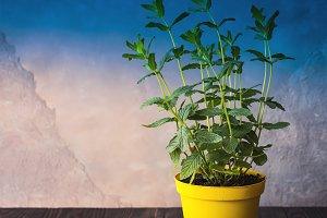 Fresh mint growing in a pot