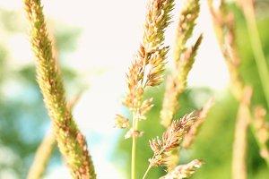 Purple Grass Seed Heads