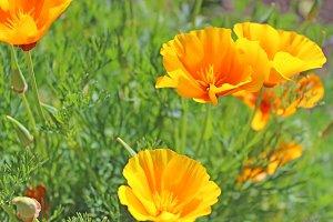 California Orange Poppies