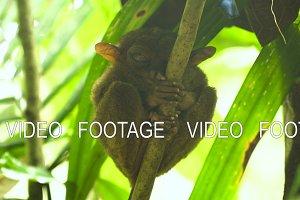 Funny Philippine tarsier Tarsius
