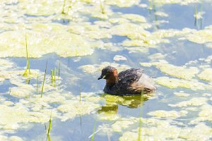 Little Grebe swimming