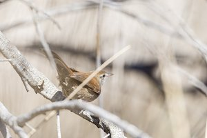 luscinia megarhynchos, nightingale,