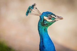Peacock #17 - Exotic Bird