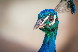 Peacock #14 - Exotic Bird