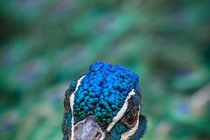 Peacock #11 - Exotic Bird