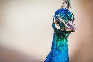 Peacock #13 - Exotic Bird