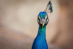 Peacock #15 - Exotic Bird