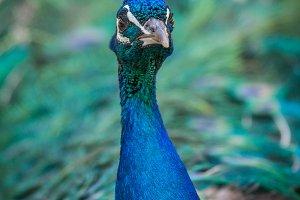 Peacock #10 - Exotic Bird