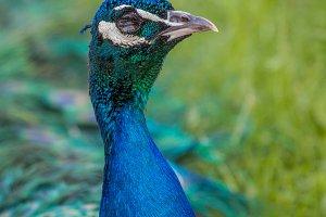 Peacock #9 - Exotic Bird