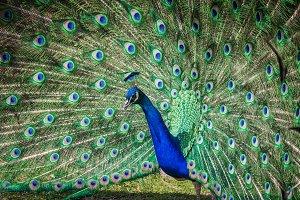 Peacock #6 - Exotic Bird