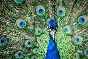 Peacock #5 - Exotic Bird
