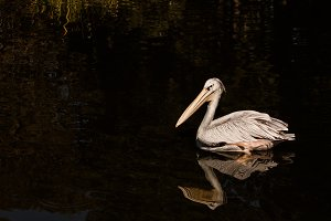 Pelican #3 - Water Bird