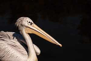 Pelican #1- Water Bird