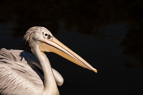 Animal Stock Photos: Sunshine Inspired Designs - Pelican #1- Water Bird