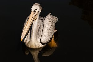 Pelican #2 - Water Bird