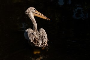 Pelican #4 - Water Bird