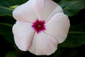 Periwinkle #1 - Pink Flower