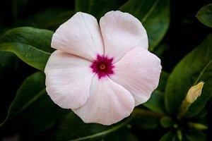 Periwinkle #2 - Pink Flower